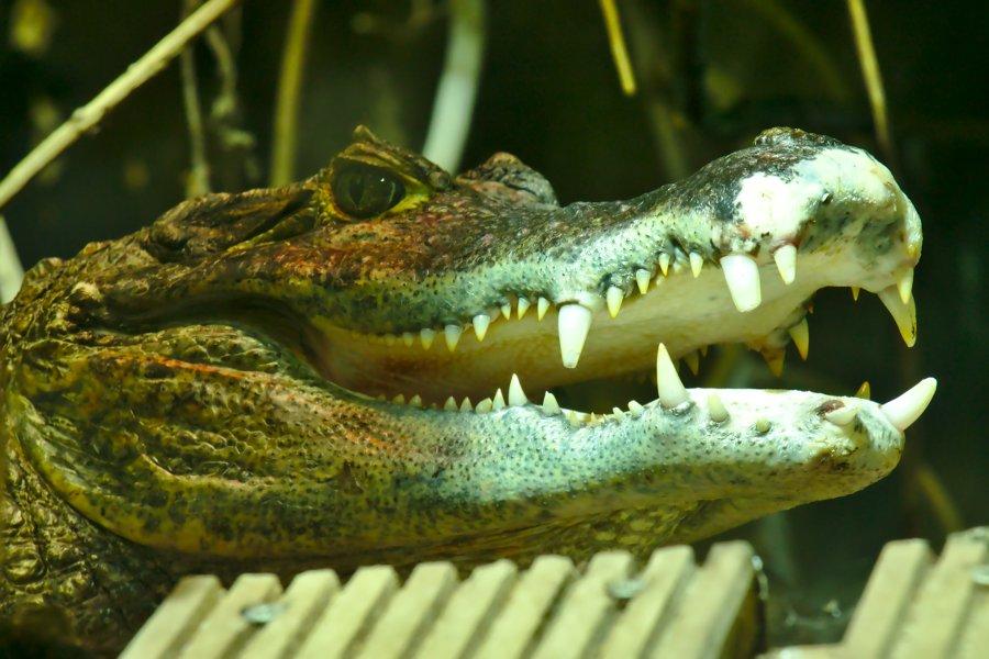 Nausicaa Krokodil