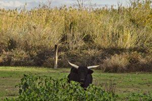 04 Stier in der Camargue