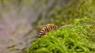 03a Bienen auf Algen