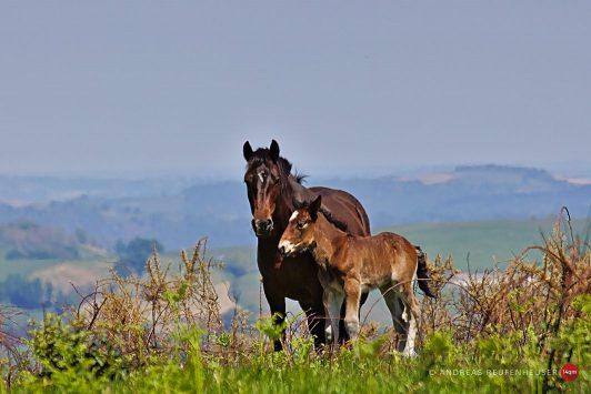 28b Freilaufende Pferde am Col d'Ipharlatze