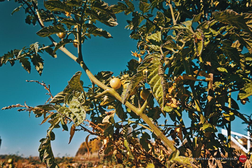 Tomatenpflanzen am Ufer der Wuppermündung