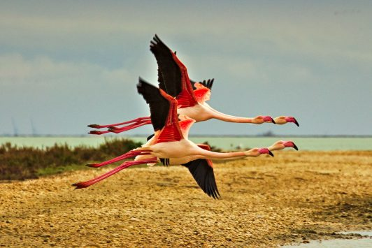 Flamingos in Saintes-Maries-de-la-mer
