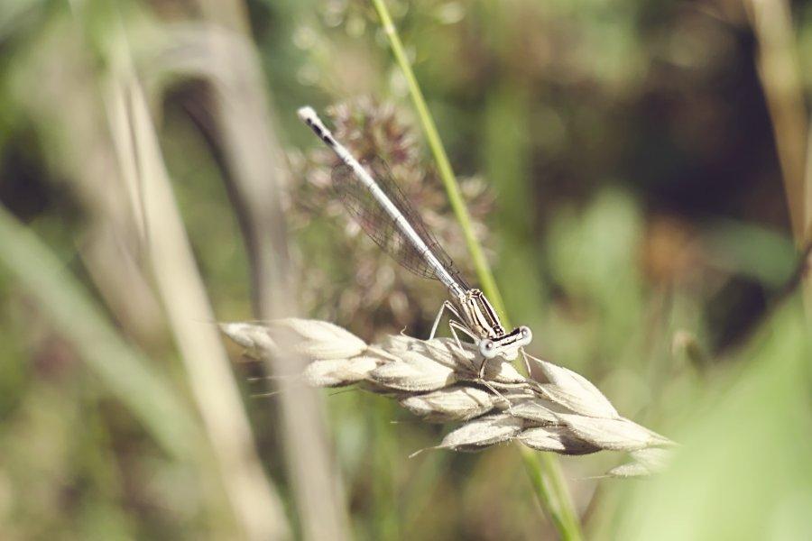 Schwanheimer Düne Libelle
