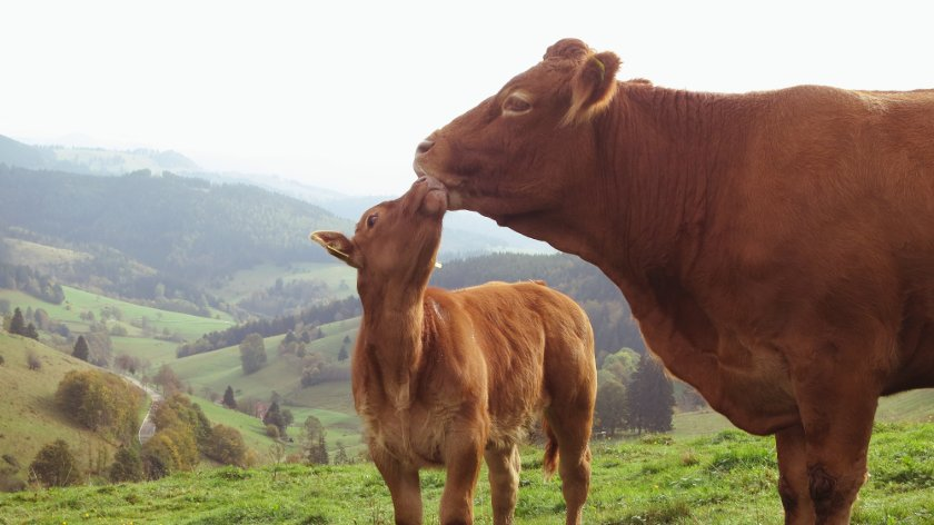 Schmusende Kühe